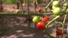 Green and red tomatoes. Stock Footage