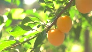 Colorful fruits on branch. Stock Footage