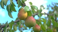 View of Pears and green leaves. Stock Footage