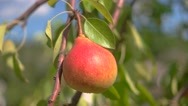 Red pear and green leaves. Stock Footage