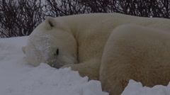 Slow motion close snow falling on sleeping polar bear in bed Stock Footage