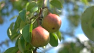 View of  Ripe pears and green leaves. Stock Footage