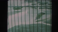1958: polar bear behind bars swims in tiny circles AMES, IOWA Stock Footage