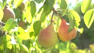 Pears under sunlight. Stock Footage