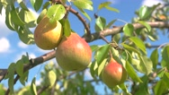 View of  Branch with pears. Stock Footage