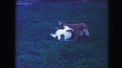 1958: dogs are playing together in the backyard, tangling and having fun with Stock Footage