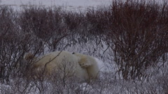 Slow motion - polar bear rolls playfully on back in snowy willows Stock Footage