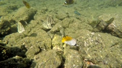Tropical Butterfly Fish in Rocky Reef Shallows in Hawaii Stock Footage