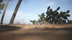 From the bottom shot of prickly pear cactus and timothy grass, Sardinia, Italy. Stock Footage