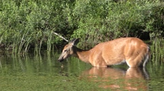 White-tailed Doe Female Deer in Lake Water Feeding in Summer in Canada Stock Footage