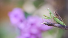 Closeup of two Praying Mantis mating on an plant near a bouganvillea flower. Stock Footage