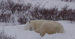 Sleeping polar bear in willows as snow blows over top Stock Footage