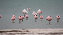 Greater flamingos fighting Stock Footage