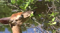 White-tailed Deer Browsing and Eating Leaves and Buds in Summer Stock Footage