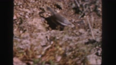 1958: squirrel roaming in search of food COLORADO Stock Footage