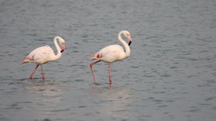 Greater flamingos walking across a shallow estuary Stock Footage
