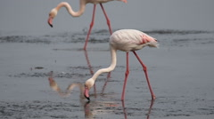 Greater flamingos feeding in a shallow estuary Stock Footage