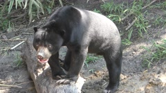 Malaysian Asian Sun Bear in Forest Resting on Log Stock Footage