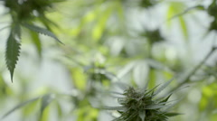 Large Medical Marijuana Plant Stock Footage