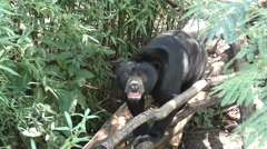 Asian Sun Bear in Forest Looking Around Stock Footage