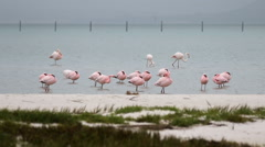 Lesser flamingos resting in a shallow estuary Stock Footage