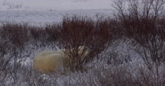 Polar bear settles into snowy bed in willows Stock Footage