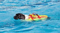 Lifeguard dog in swimming pool. Stock Photos