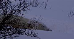 Tight on face of sleeping polar bear behind willows Stock Footage