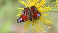 Butterfly European Peacock (Aglais io) on a Elecampane flower Stock Footage