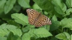 Butterfly Dark Green Fritillary (Argynnis aglaja)  sits on a green leaf Stock Footage