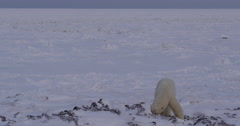 Polar bear digs at frozen kelp beds on edge of sea ice Stock Footage