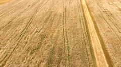 Flying over a Golden field of ripe wheat Stock Footage