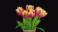 Time-lapse of opening red-yellow tulips in vase, RGB + ALPHA matte format Stock Footage