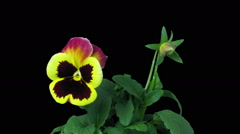 Time-lapse of growing and opening violet flower in RGB + ALPHA matte format Stock Footage