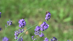Bee pollinating Lavender in a Lavender Field Stock Footage