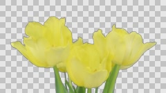 Time-lapse of growing and opening yellow tulip with ALPHA channel Stock Footage