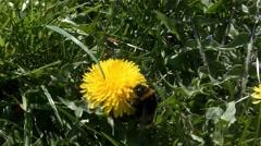 Bumblebee and Dandelion in 4k UHD 2160 Stock Footage