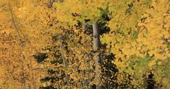 Beautiful yellow autumn leaves mountain Aspen DCI 4K Stock Footage
