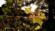 Tree leaves in sunlight. Stock Footage