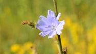 Bee on chicory flower collects pollen and flies away Stock Footage