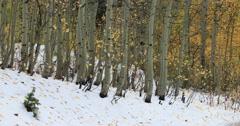 Mountain snow yellow Aspen trees Winter autumn DCI 4K Stock Footage