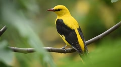 Male golden oriole standing on a branch and looking around Stock Footage