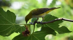A young golden oriole feeds on fig fruit and leaves Stock Footage