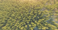 Aerial View of Pinetrees. 4k 30fps Stock Footage