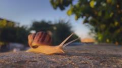 Snail walks slowly in the morning sun Arkistovideo