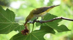 Young golden oriole feeding on fig fruit Stock Footage