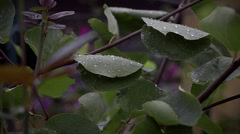 The morning dew on a leaf after cold summer night Stock Footage