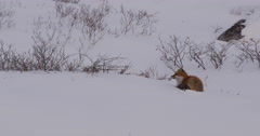 Red fox lying in snow listens and sniffs wind on hillside Stock Footage