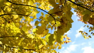 Autumn leaves against the sky Stock Footage