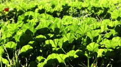 Weed Malva nicaeensis is a species of flowering plant in the mallow family Stock Footage